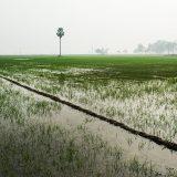 Paddy fields