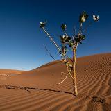 Calotrope plant, Chigaga Dunes